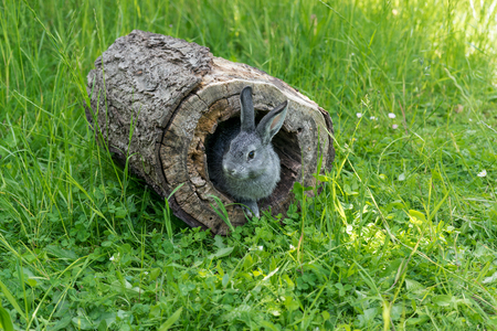 A gray gray rabbit looks out of a hiding-place Stock Photo