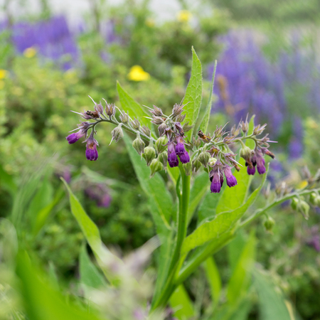 Comfrey plant with violet flowers