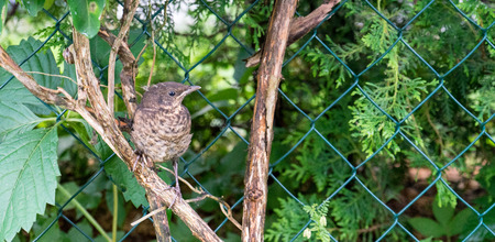 throttle: Young thrush on a branch