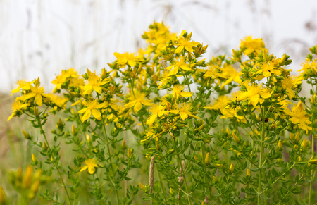 Blooming St. Johns wort on the meadow