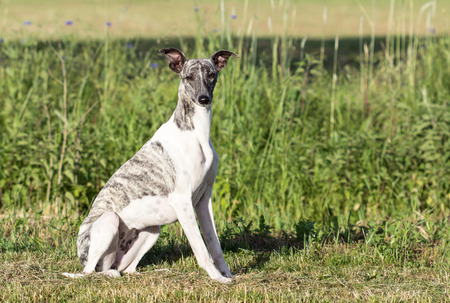 Gray-white whippet is sitting on the meadow