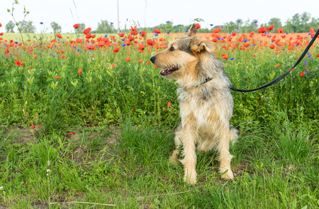 Mixed-breed dog in a meadow with red poppy