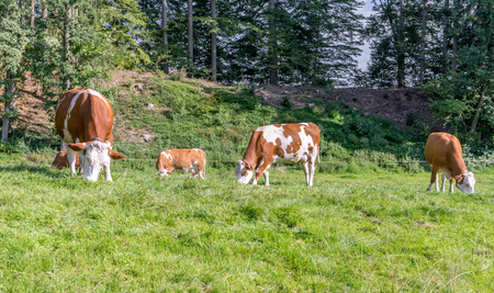 brown-white cows on a pasture