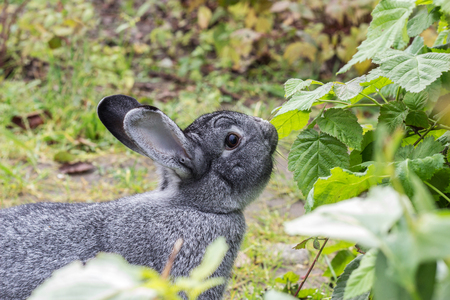 a gray rabbit sniffs at a plant