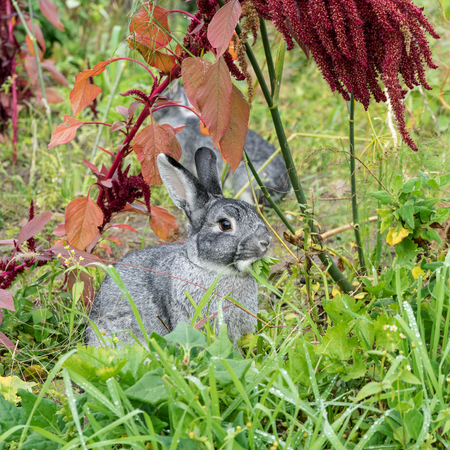 two gray rabbit sits in the garden and eats celery