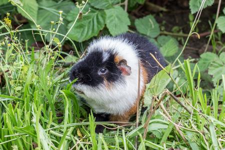 Cute, black and white guinea pig eats leaves Standard-Bild