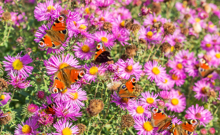 red autumn asters with many peacock butterfly in autumn branches Standard-Bild