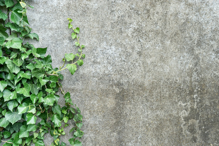 Background with gray plastered wall and ivy leaves Standard-Bild