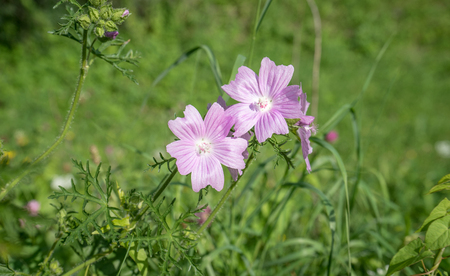 a pink blooming wild mallow in summer on a meadow