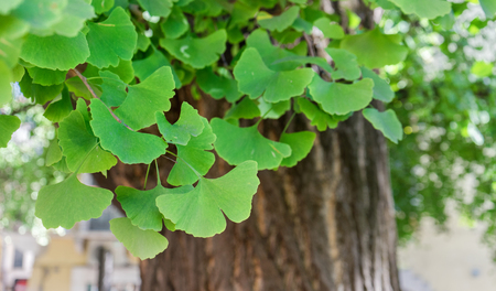 Close-up of an old ginkgo tree in Verona, Italy Standard-Bild