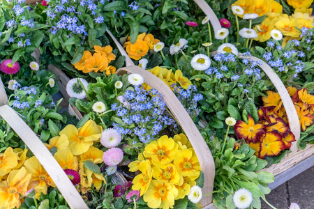 Baskets with colorful primroses, daisies and forget-me-nots