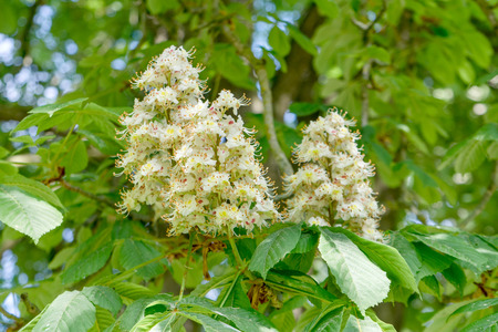 White flowers of the horse chestnut Stock Photo