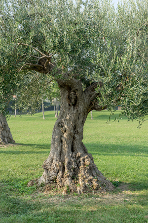 Old, knotty olive tree at the park in Sirmione in Italy Banco de Imagens