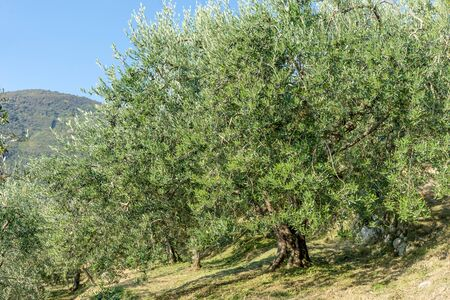 Grove with old olive trees in Italy