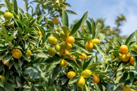 Citrus plans with ripe kumquat Standard-Bild