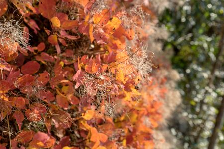 Detail of a smoke tree in autumn