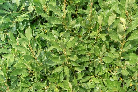 Fresh green foliage of a laurel bush