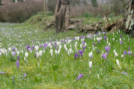 Meadow with crocuses in spring