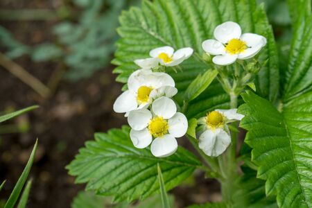 Flowers and leaves of wild strawberry Standard-Bild