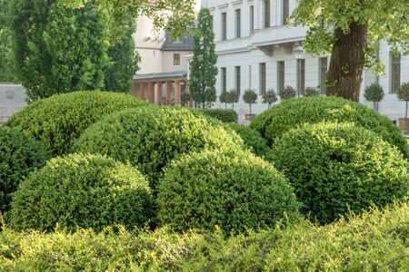 Shaped boxwood balls in downtown Weimar