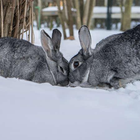 Two chinchilla rabbits in the snow Standard-Bild