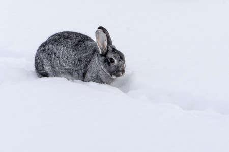 small chinchilla rabbit in the snow Standard-Bild