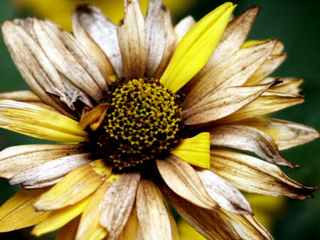 fade away: A yellow flower in fall begins to fade away. Stock Photo