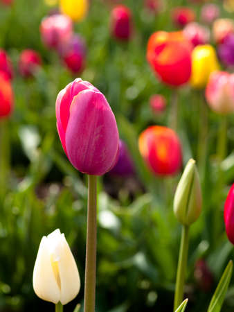 bulb tulip: Tulips in a blooming field