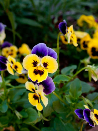 pansies: Purple and Yellow Flowers