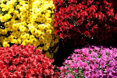 Four colors of fall mums in pots