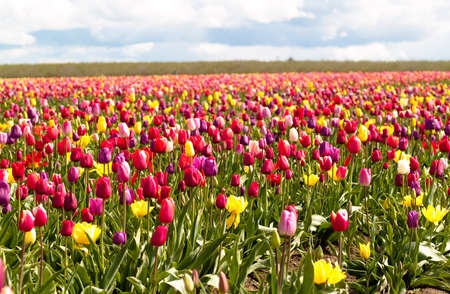 Tulips in a blooming field