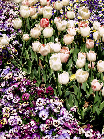 Purple pansies and white tulips in a crowded bed.