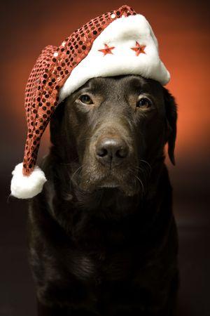 labrador christmas: chocolate labrador at christmas wearing a santa hat