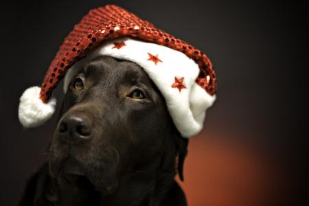 labrador christmas: Brown Pedigree Labrador wearing Christmas Hat Stock Photo