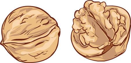 hard crust: white background Hand drawn walnut cartoon vector