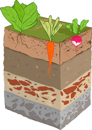 root vegetables: vector illustration of a vegetable soil layer