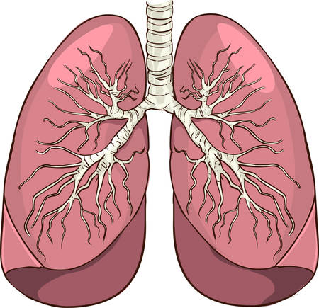 pleura: Vector illustration of a lung detailed medical illustration