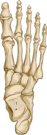 Vector la ilustración de una anatomía ósea del pie médica Ilustración de vector
