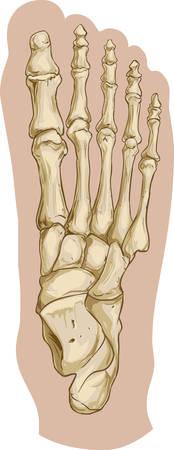 Vector la ilustración de una anatomía ósea del pie médica