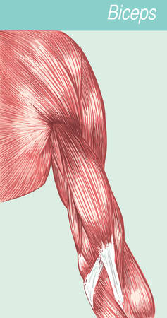 striated: Vector illustration of a anatomy  medical biceps Illustration