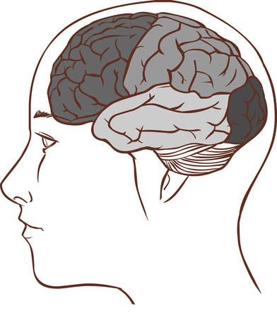 Diagrama De La Anatomía Del Cerebro Con Seccionado En Diferentes ...