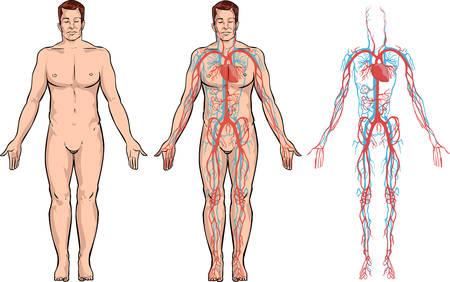 fondo blanco Ilustración vectorial de un sistema circulatorio