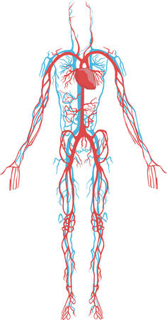 white  background Vector illustration of a circulatory system Illustration