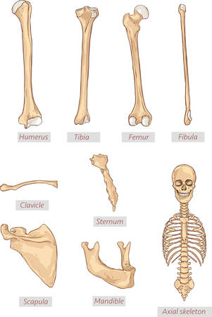 mandible: humerus,tibia,femur,fibula,clavicle,sternum,scapula,mandible,axial skeleton detailed medical illustrations .Latin medical terms. Isolated on a white background Illustration