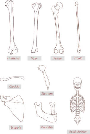 scapula: humerus,tibia,femur,fibula,clavicle,sternum,scapula,mandible,axial skeleton detailed medical illustrations .Latin medical terms. Isolated on a white background Illustration