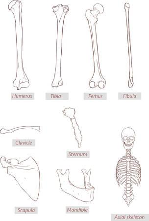 Humerus, Tibia, Femur, Fibula, Schlüsselbein, Brustbein ...