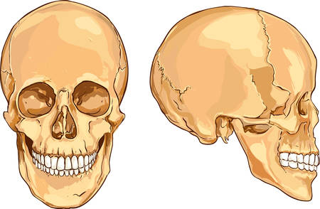 oppose: white backround vector illustration of a  people skull