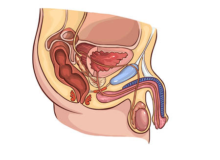 suspensory: vector illustration of a Male Reproduction System