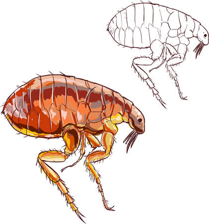 suck blood: white background vector illustration of a flea