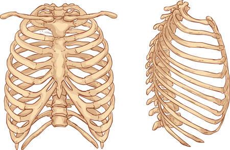 białym tle ilustracji wektorowych ilustracji klatki piersiowej